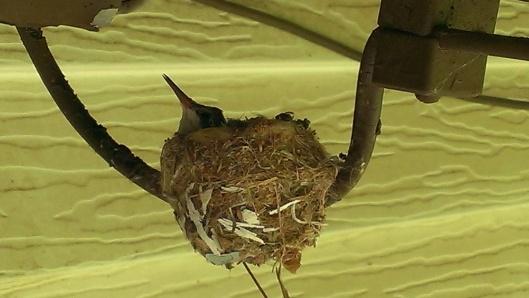 Baby Hummingbird2